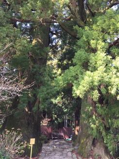 樹齢800年の夫婦杉