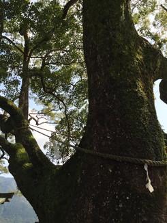 天然記念物 那智の樟