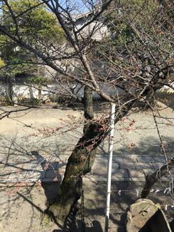 桜がちらほらと咲き始めています