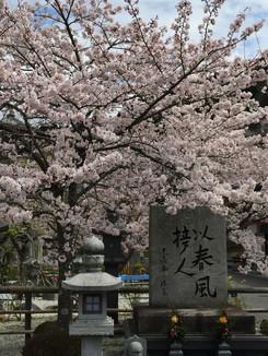 壺坂寺入口付近の桜