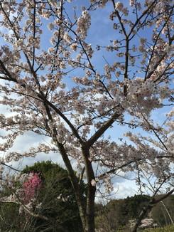 石舞台古墳公園 桜が見頃