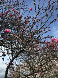 石舞台古墳公園 この桜の開花はこれから
