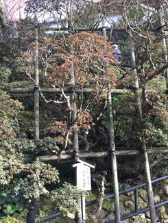 皐月 緋の司 樹齢五百年