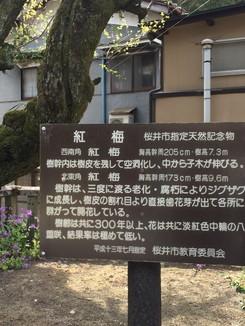 紅梅 桜井市指定天然記念物