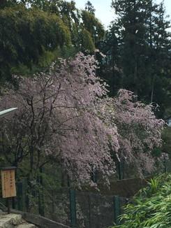 玉鬘庵跡の桜