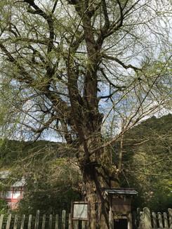天然記念物 初瀬のイチョウの巨樹