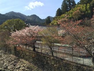 こちらの桜も見頃