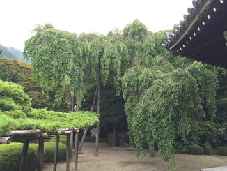 桂昌院の枝垂れ桜