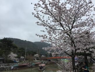 あじろぎの道より、桜と宇治川に架かる喜撰橋を望む