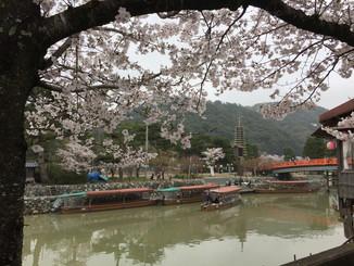 あじろぎの道より、桜と宇治川の観光船