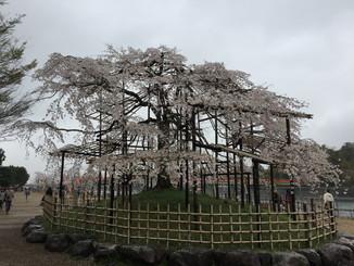 宇治川しだれ桜
